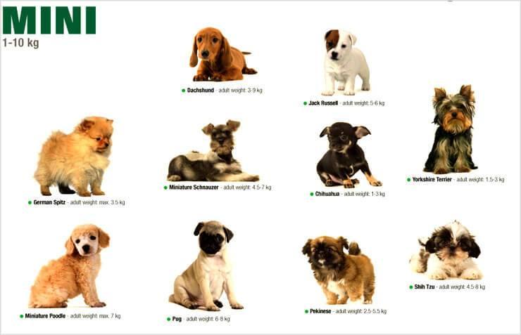 Распространенные маленькие (карликовые) собаки: названия, особенности породы, плюсы и минусы содержания
