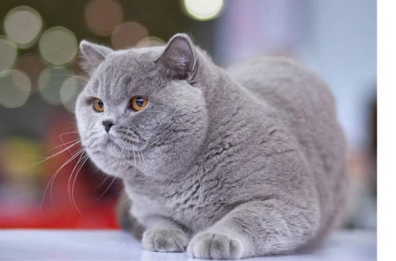 Как назвать британскую кошку-девочку серого цвета? популярные и интересные клички для кошек британской породы