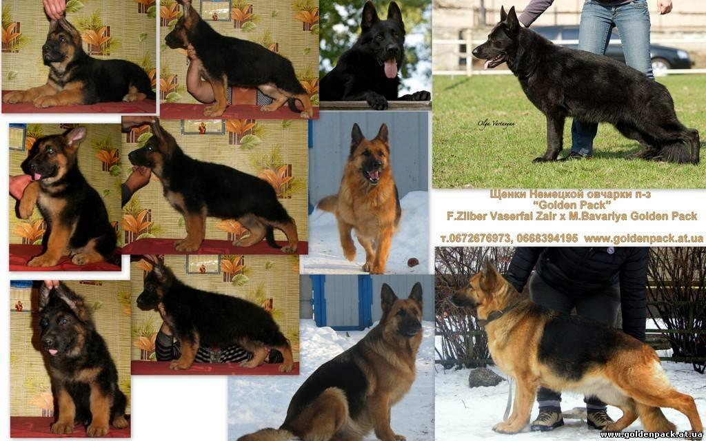 Все окрасы восточноевропейских овчарок - фото с описанием: чепрачный, черный, зонарный окрасы и др.