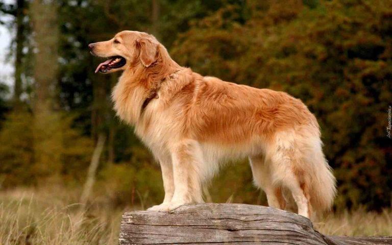 Основные характеристики золотистого ретривера: характер, уход, болезни и выбор щенков