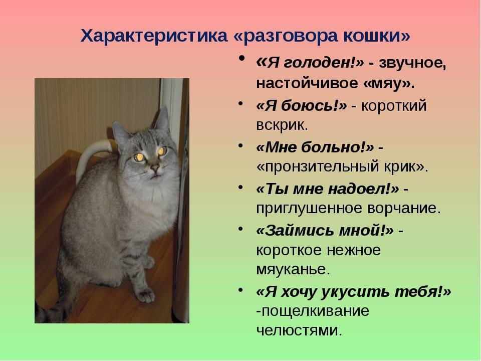 Если кошка рычит и шипит без причины