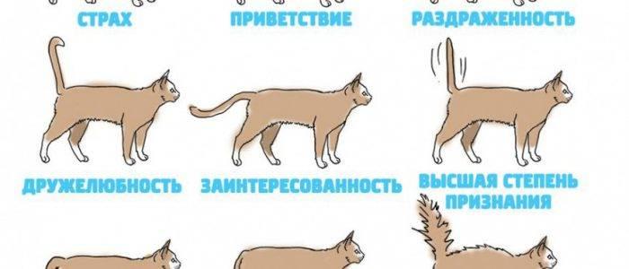 Как понять кошачий язык: эмоции кота по хвосту