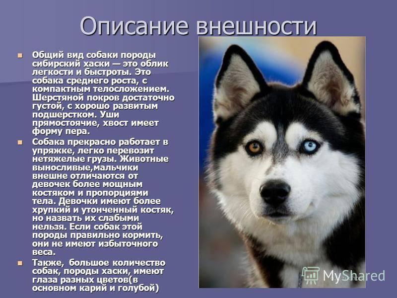 Восточно-сибирская лайка: описание породы - моя собака