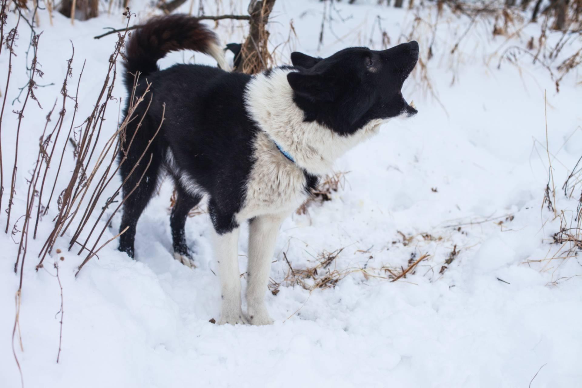 Карельская медвежья собака — охотник, загоняющий зверя в любых условиях