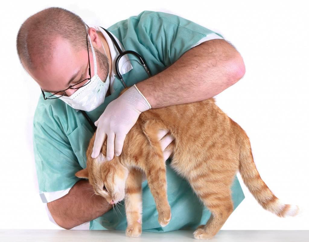 Токсоплазмоз у кошек: симптомы, диагностика, лечение заболевания