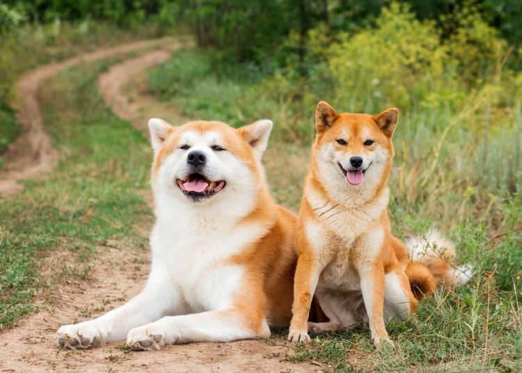 Акита-ину – аристократическая порода собак из японии