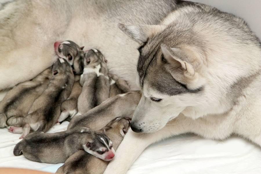 Сколько щенков может родить собака хаски в первый раз