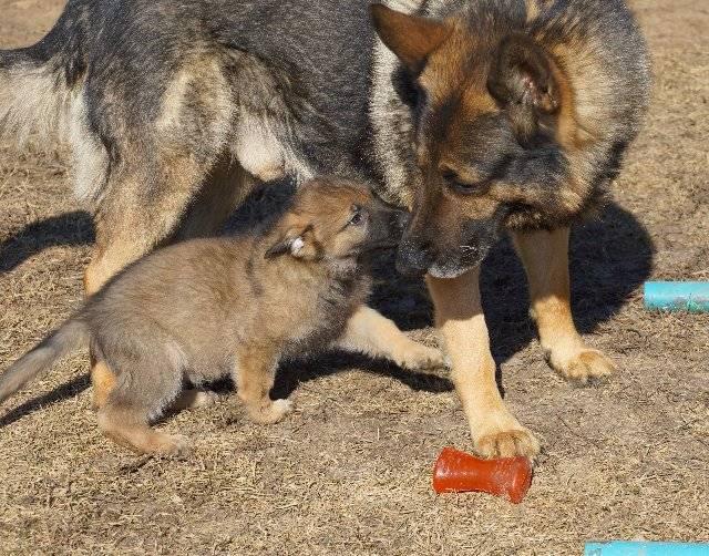 Вязка немецкой овчарки: когда, и как правильно случать собак, какой день течки подходит для спаривания