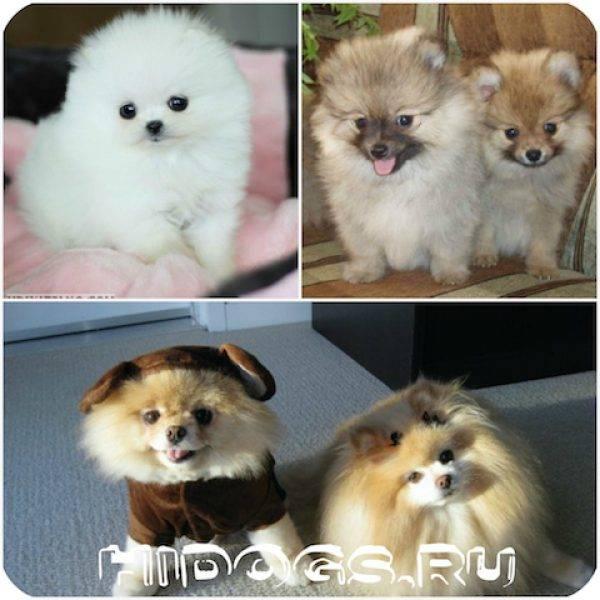 Померанский шпиц мини: как выглядит на фото миниатюрный белый и черный питомец, а также сколько живут супер маленькие собаки