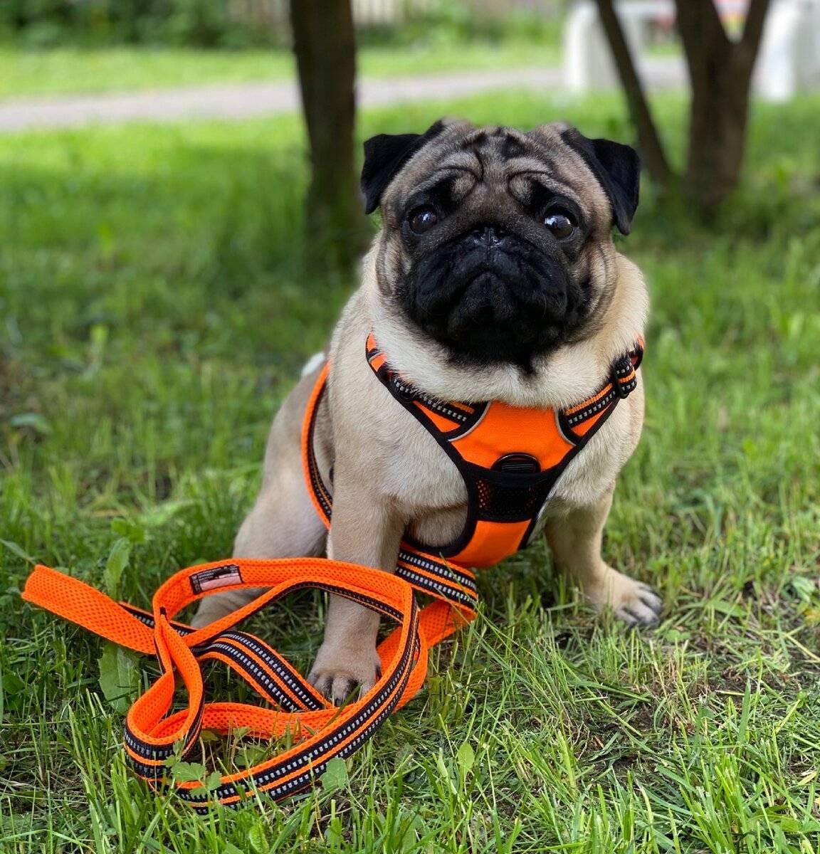 Намордник для собаки. как правильно выбрать намордник и приучить к нему собаку?