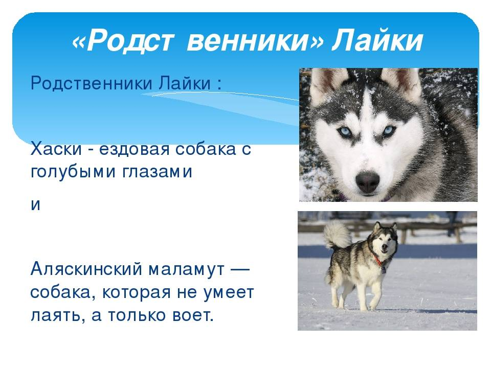 Отличия маламута от хаски и других похожих собак, метисы маламута.
