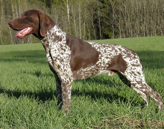 Русские породы собак выведенные в россии