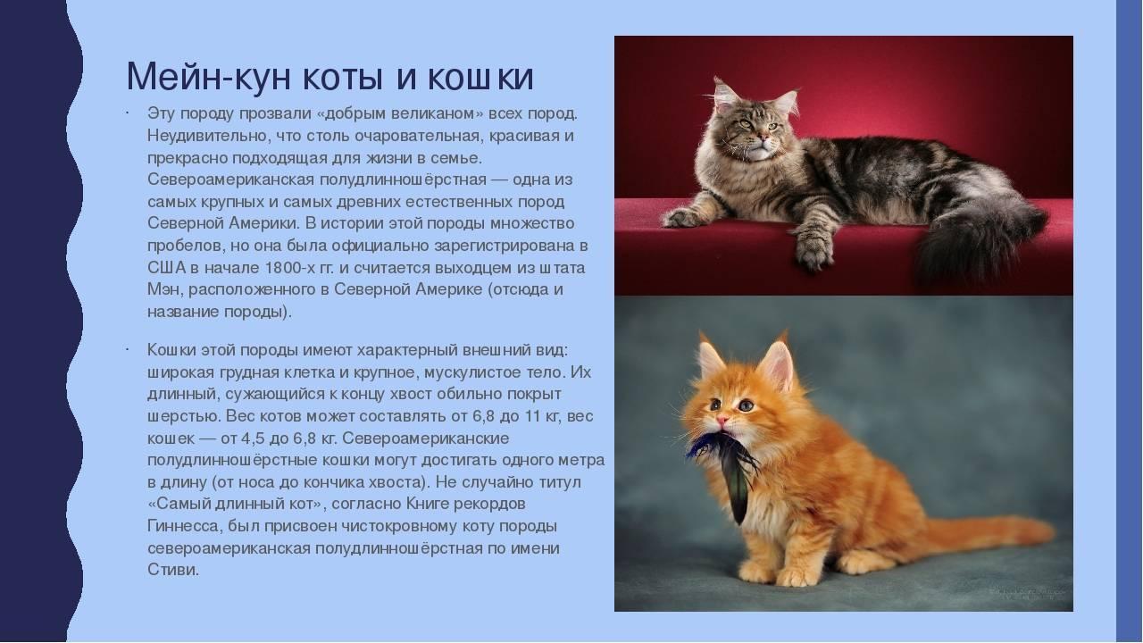 Коты мейн-куны: происхождение, повадки, отношения с человеком, плюсы и минусы