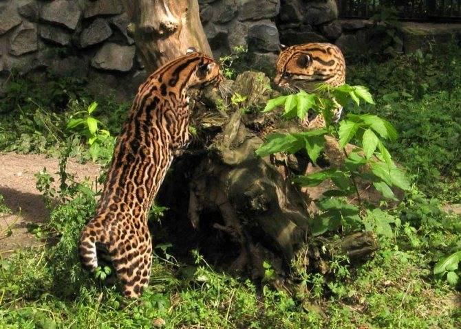 Чилийская дикая кошка: описание внешности, характер, среда обитания и образ жизни, фото