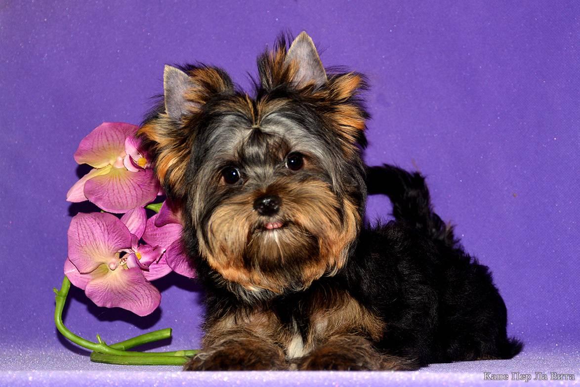 Клички для той-терьера мальчика и девочки: красивые и звучные имена для собак данной породы