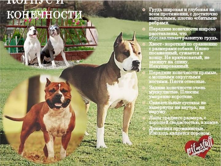 Американский стаффордширский терьер собака. описание, особенности, уход и цена породы