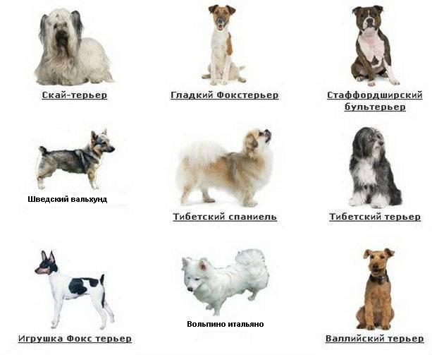 Маленькие породы собак: породы, особенности, характеристики. самые маленькие собачки в мире