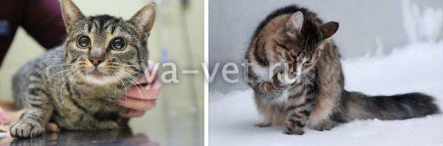 Рвота у кошки из-за шерсти: причины, первая помощь