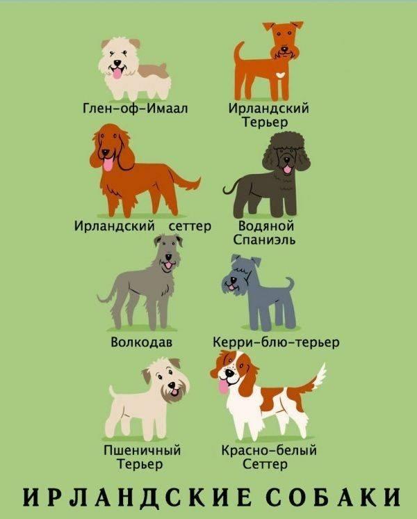 Служебные породы собак, выведенные в россии. русский чёрный терьер (собака сталина)