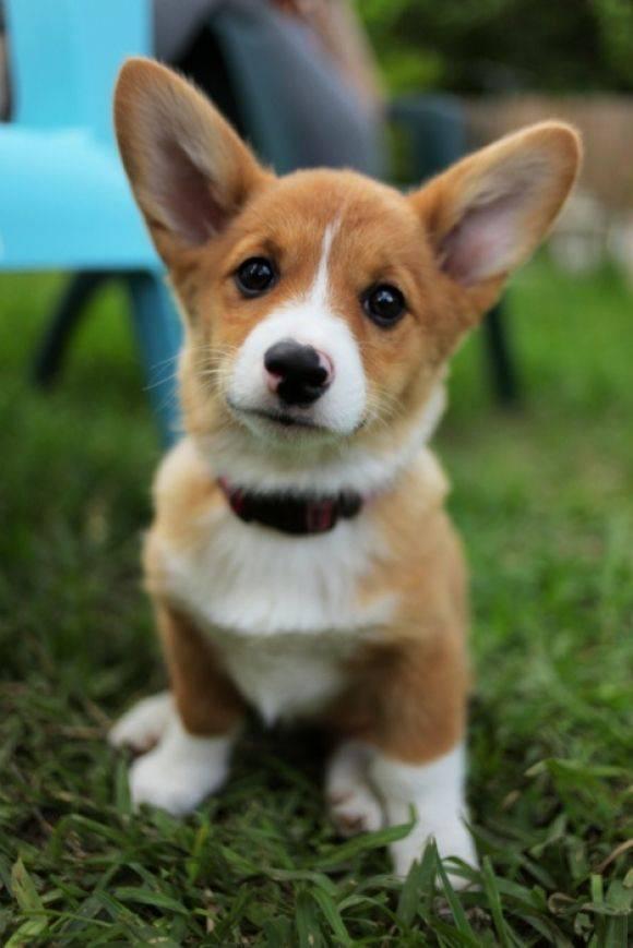 Длинные породы собак. описание, особенности, виды, названия и фото длинных пород собак   животный мир
