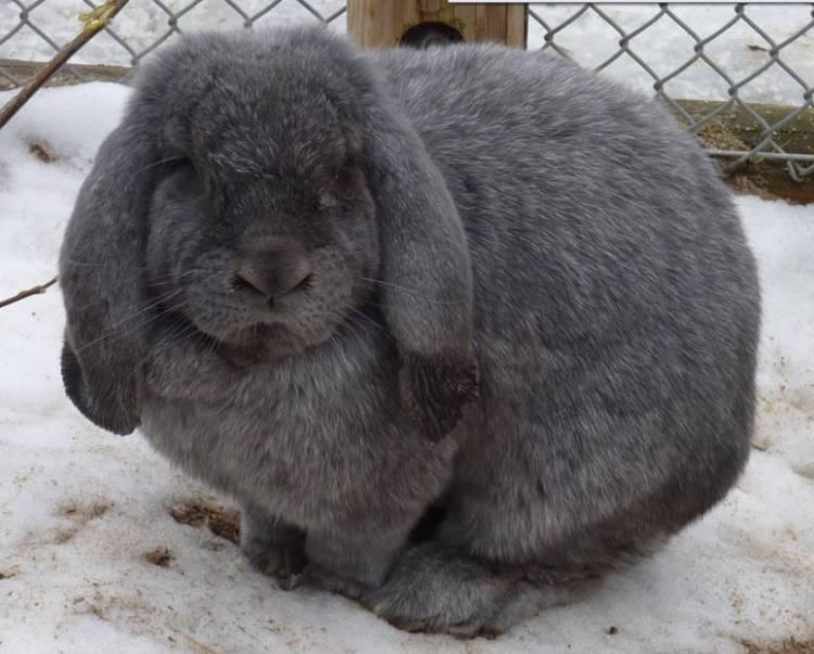 Кролик французский баран (37 фото): характеристика породы. особенности разведения и содержания. отзывы владельцев