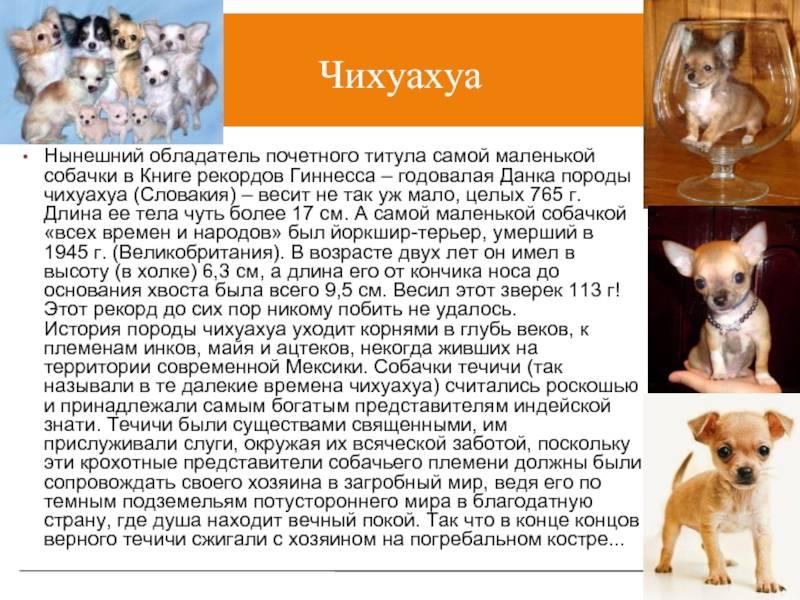 Содержание и кормление собак чихуахуа в домашних условиях