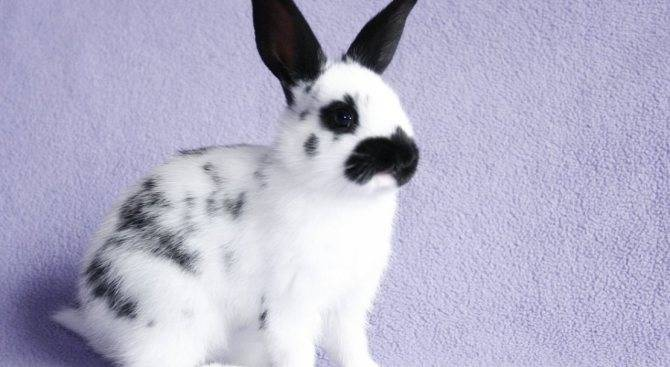 Кролики породы бабочка: особенности разведения и ухода — cельхозпортал