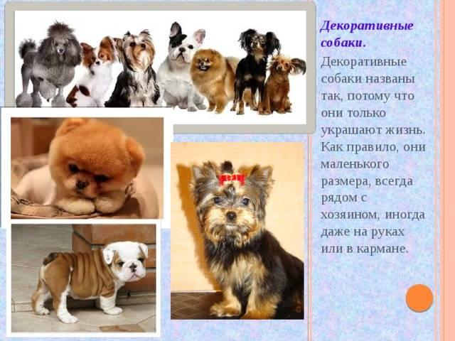 Список пород собак самых маленьких размеров