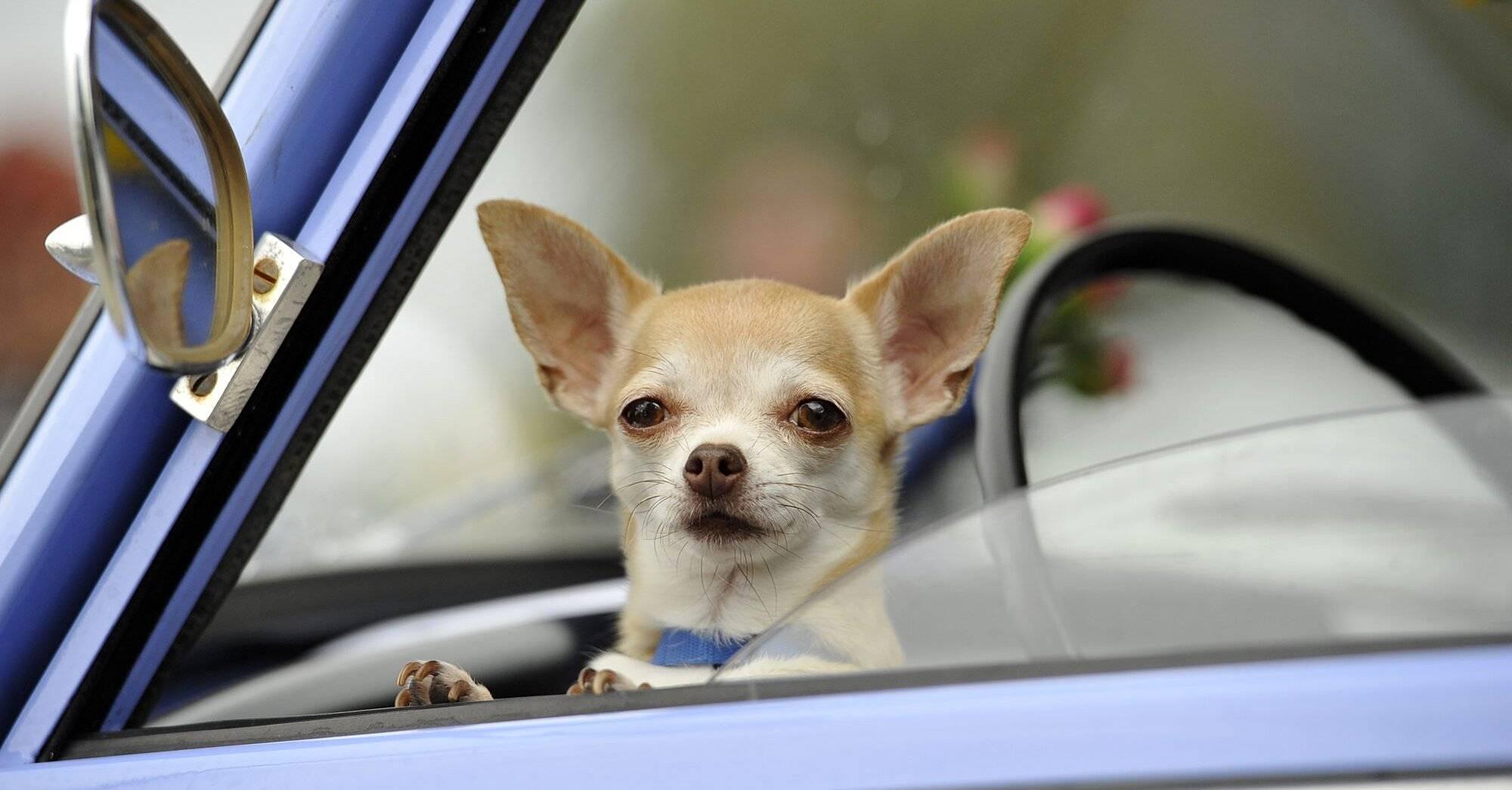 Что делать, когда собаку укачивает в машине? причины и советы