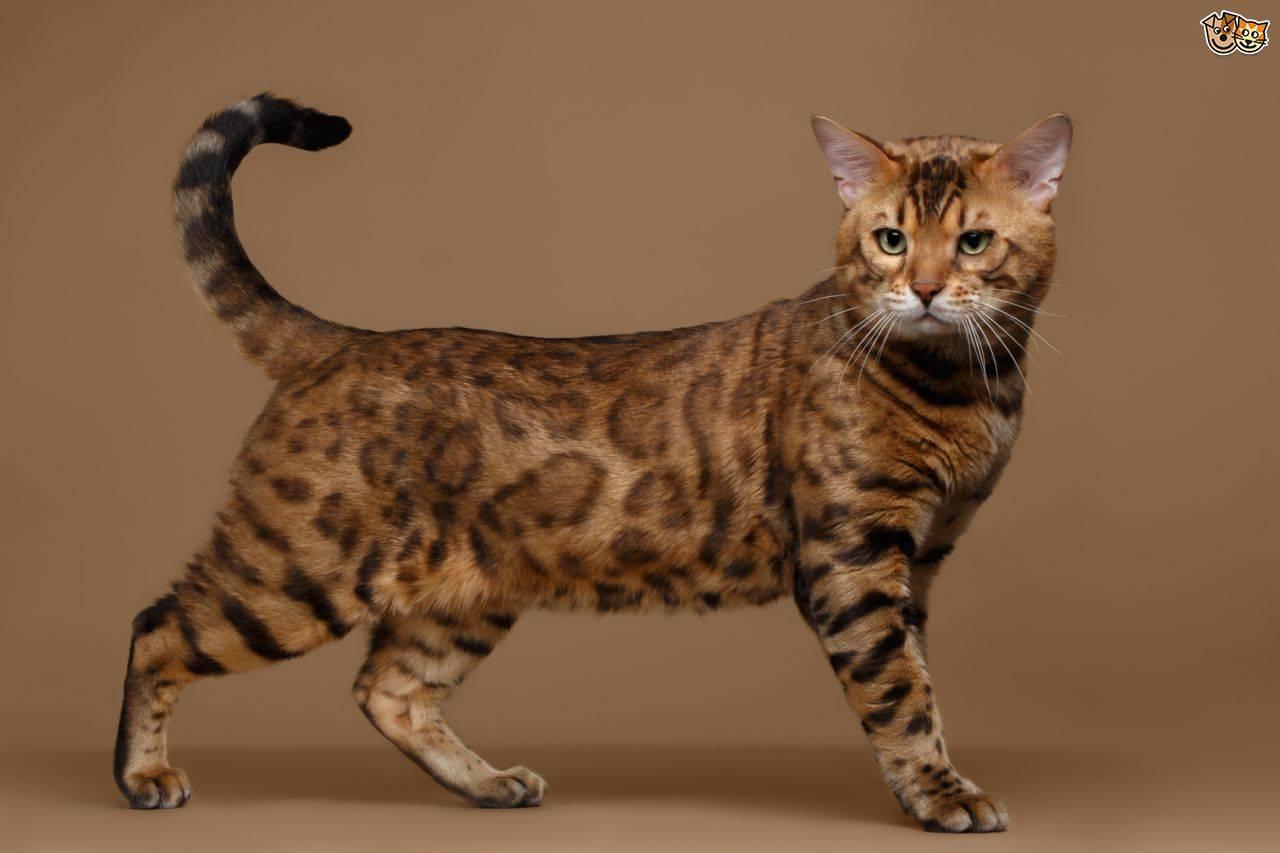 8 пород кошек с леопардовым окрасом | cоциальная сеть владельцев домашних животных