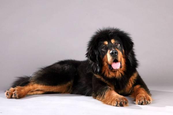 Какую собаку завести в частный дом - рейтинг пород