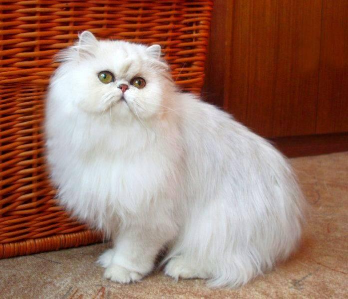 Кошка – персидская шиншилла - patee.ru