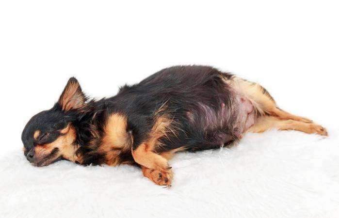 Почему у собаки ложная беременность, причины из-за которых начинается, когда наступает, как избежать ложную щенность и предотвратить в дальнейшем