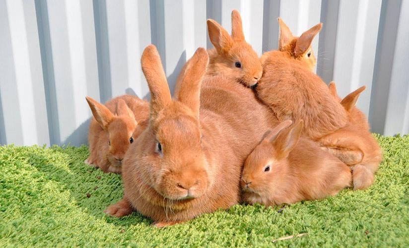 Кролики-новозеландцы и их особенности