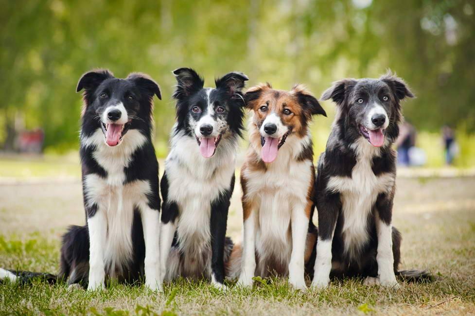 Порода собак бордер-колли от а до я + 25 фото