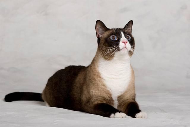 Порода кошек сноу-шу: внешний вид, темперамент, уход и лучшие питомники