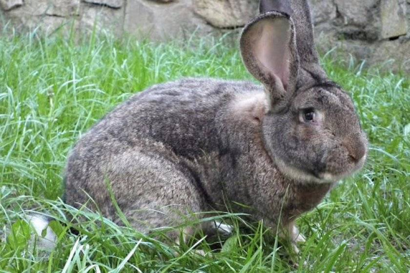 Порода кроликов фландр: особенности их разведения и ухода, достоинства и недостатки представителей породы