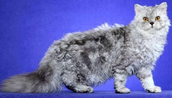 Европейская кошка: описание кельтской короткошерстной и длинношерстной породы
