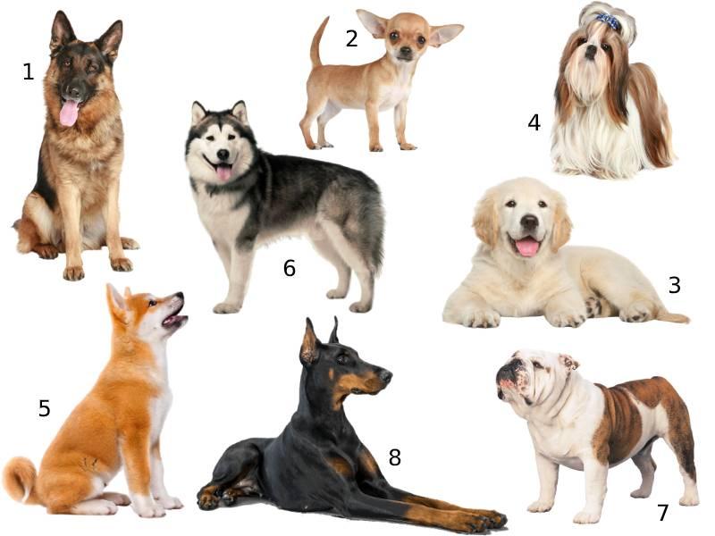 Породы собак для квартиры — описание породы собак
