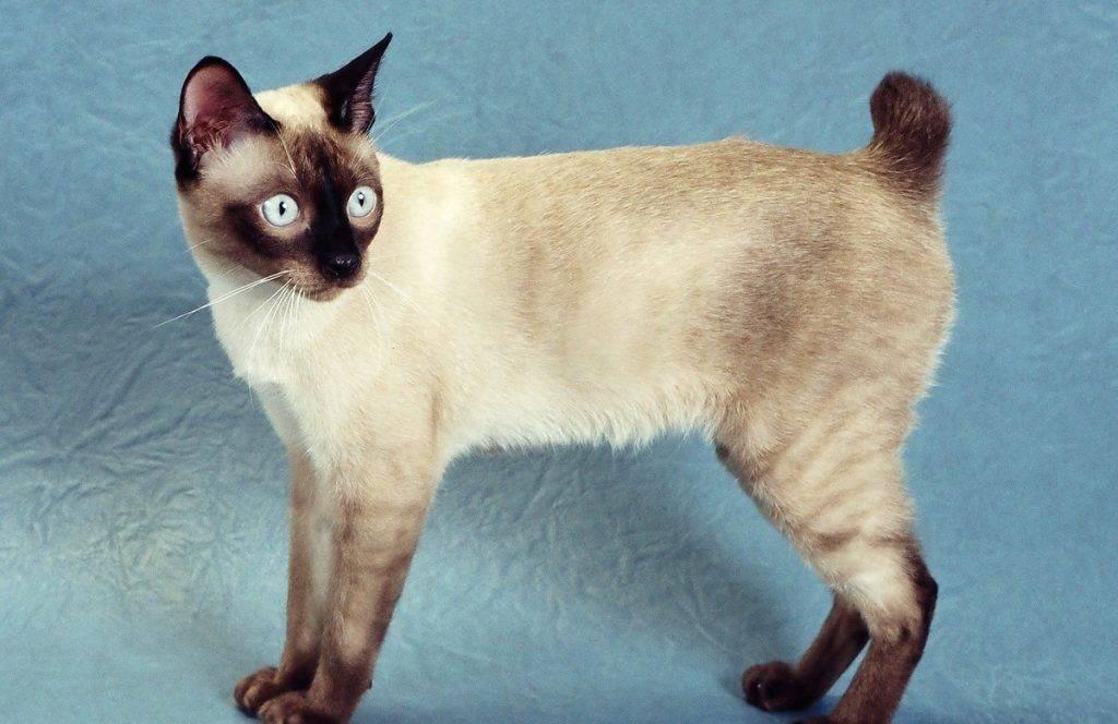 Кошка бобтейл: особенности содержания и фото уникальной породы