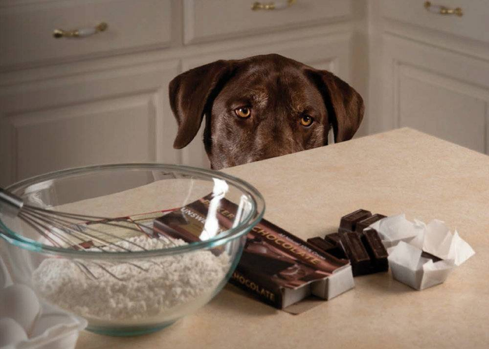 Собака съела шоколад: что делать при отравлении и какая доза считается смертельной? что будет, если дать питомцу много лакомства?