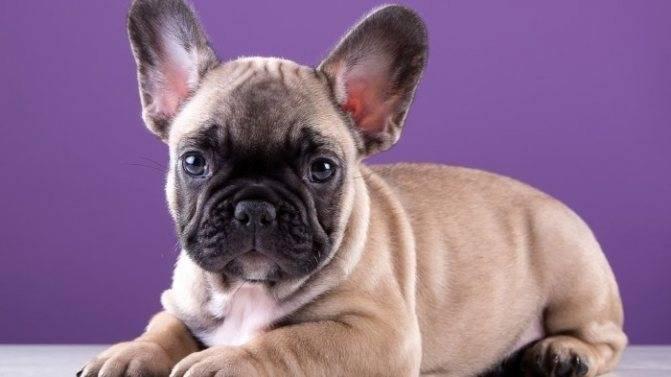 Французский бульдог и дети: особенности породы и отношение к малышам, воспитание собаки в семье, а также что надо купить, прежде чем заводить питомца?