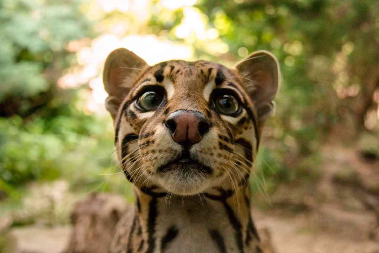 Оцелот: южноамериканский мини-ягуар
