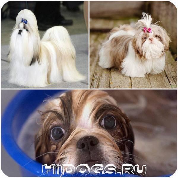 Ши-тцу: описание породы с фото, характеристика и характер, правила ухода и содержания собаки