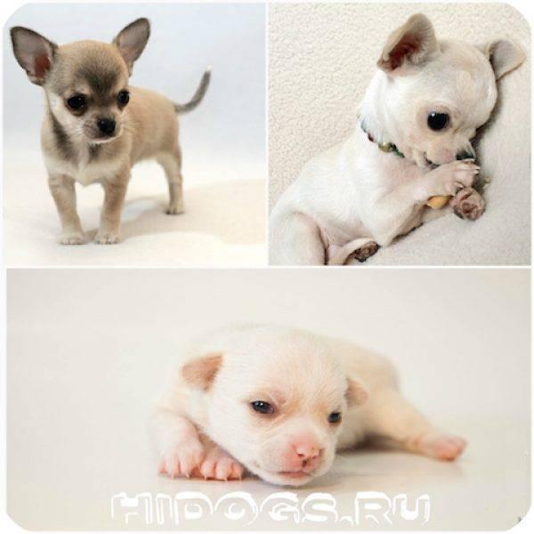 Сколько лет живут чихуахуа - продолжительность жизни собак и как ее увеличить.