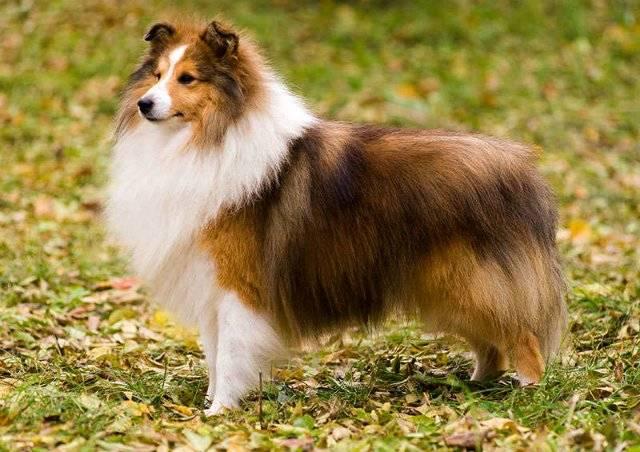 Шелти (65 фото): описание карликовых собак, характер мини-колли. содержание маленьких щенков породы шелти