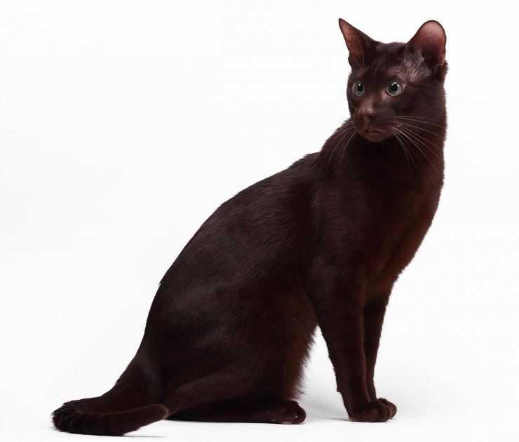 Кошка гавана. описание, особенности, уход и цена кошки гаваны | животный мир