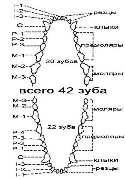 Анатомия нижней и верхней челюсти человека