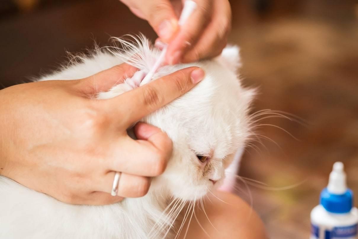 Как почистить уши кошке в домашних условиях: необходимость обработки, техника промывания