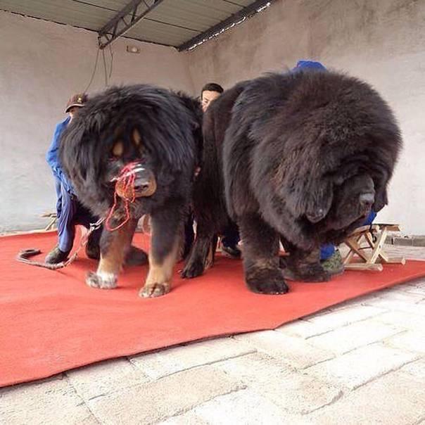 Тибетский мастиф: характеристика породы, описание, фото и отзывы